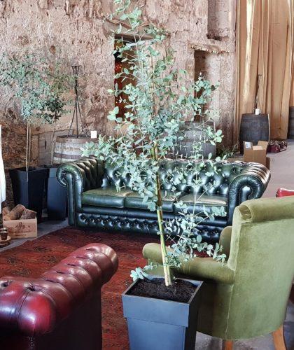 Eucalyptus Tree for Hire Scotland